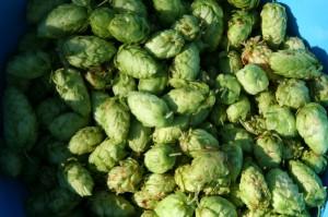 2013 hop harvest