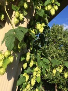 2016 Cascade hop harvest.